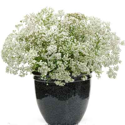Babys Breath Flowers Plant
