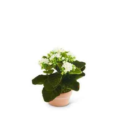 Bouvardia Flowers Plant
