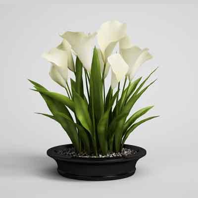 Calla Lilies Flowers