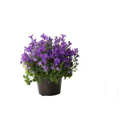 Campanulas Flowers Plant