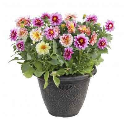 Dahlias Flowers Plant