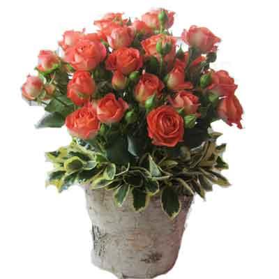 Spray Roses Flowers Plant