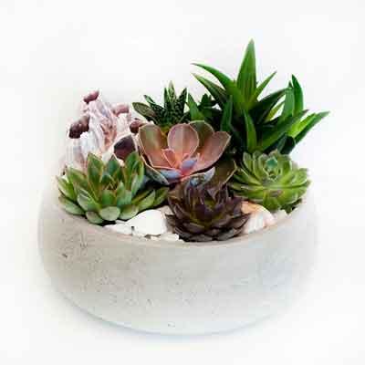 Succulents Flower Plant