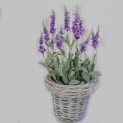 Veronica Flowers Plant