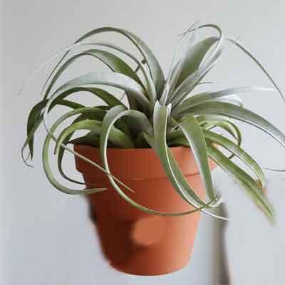Xerographica Tillandsia Flower Plant
