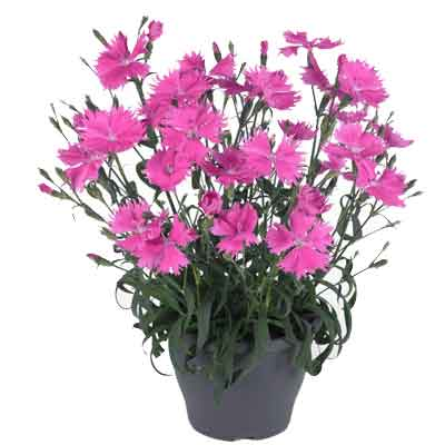 Dianthus Flowers Plant