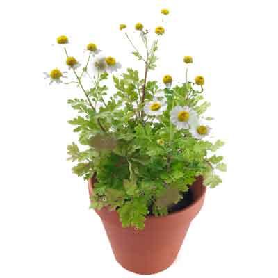 Feverfew Flowers Plant