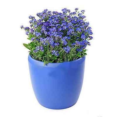 Forget Me Not Flowers Plant