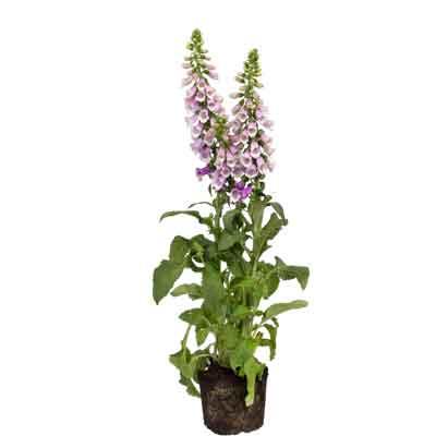 Foxglove Flowers Plant