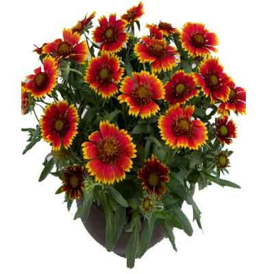 Gaillardia Flowers Plant