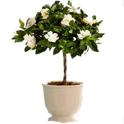 Gardenia Flowers Plant
