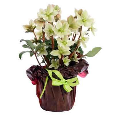 Hellebores Flowers Plant
