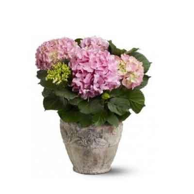Hydrangeas Flowers Plant