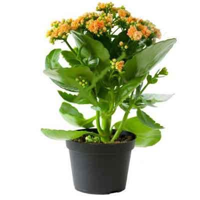 Kalanchoe Flowers Plant