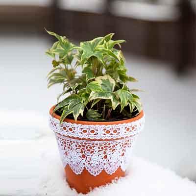 Lace Flowers Plant