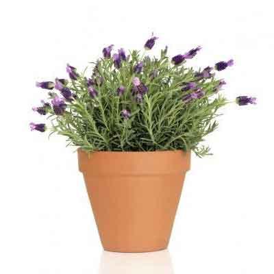 Lavender Flowers Plant