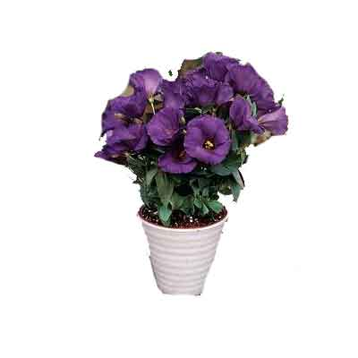 Lisianthus Flowers Plant
