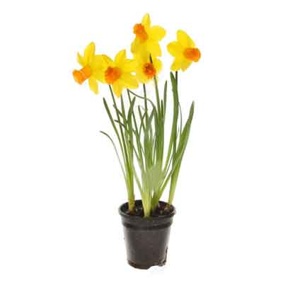 Narcissus Flowers Plant