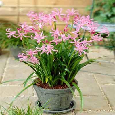 Nerines Flowers Plant