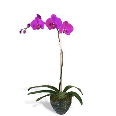 Orchids Flowers Plant