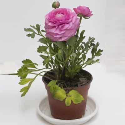 Peonies Flowers Plant