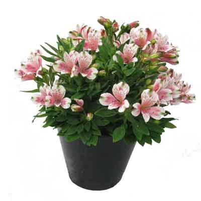 Peruvian Lilies Flowers Plant