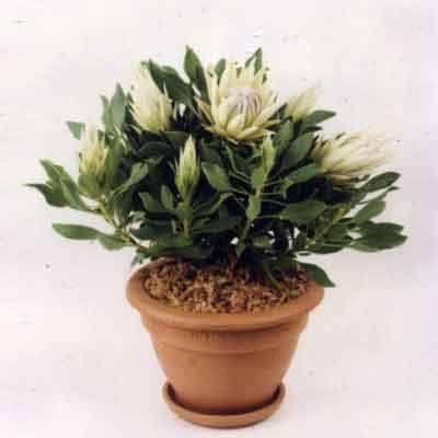 Protea Flowers Plant