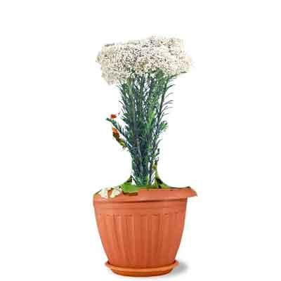 Rice Flower Plant