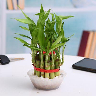 2 Layer Money Plant